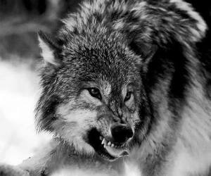wolf, angry, and animals image