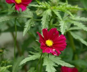 colors, cosmos bipinnatus, and flower image