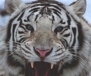 tiger, beautiful, and roar image