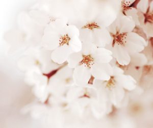 cherry blossoms, flowers, and girly image