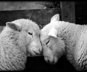 sheep, animal, and love image