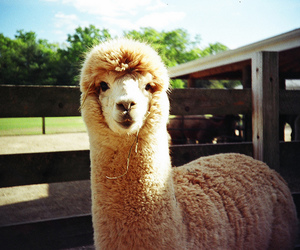 alpaca, animals, and llama image