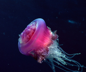 jellyfish, pink, and sea image
