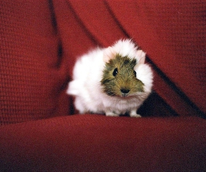 adorable, guinea pig, and red image