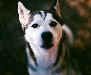 dog, photography, and husky image