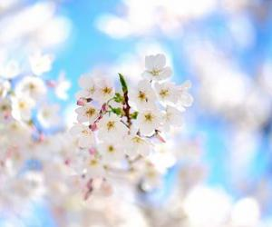 blossoms, nature, and white image