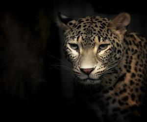 angry, eyes, and leopards image