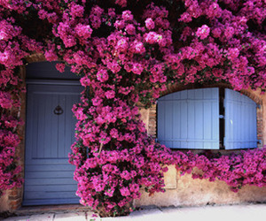 blue, pink, and bougainvillea image