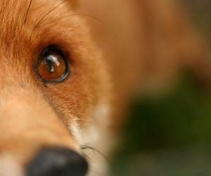 fox, animal, and eye image