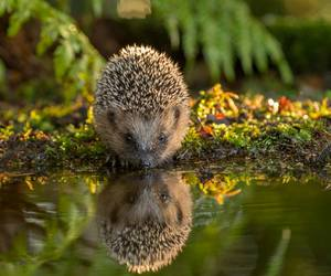 animal, hedgehog, and reflection image