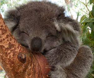 Koala, animal, and cute image