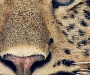<3, tiger, and very image