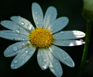 daisy, dewdrops, and spider image