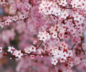blossom, flower, and cherry blossom image