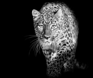 animal, jaguar, and beautiful image