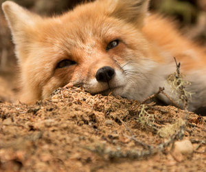 critter, fox, and nature image