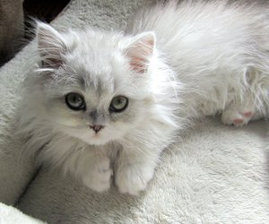 adorable, green eyes, and white cat image