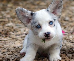 adorable, blue eyes, and corgi image