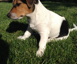 puppy, Terrier, and jack russell image