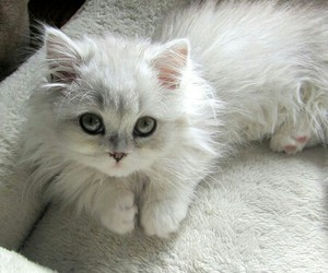 fluffy, white, and cute image