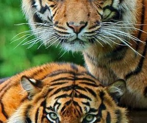 tiger, tigers, and wild image