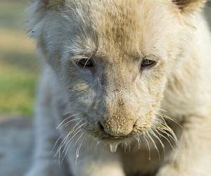 animals, whitelion, and lioncub image