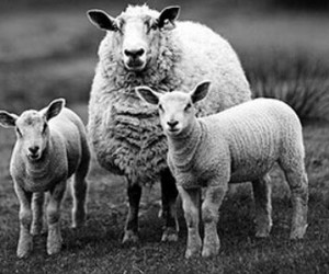animals, photography, and sheep image