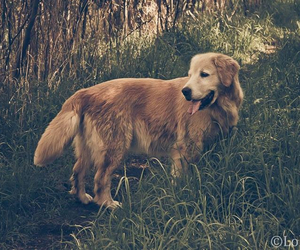 dogs, golden retriever, and sweet image