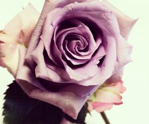 beautiful, purple, and rose image