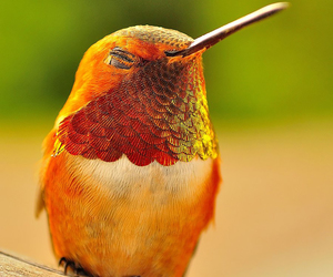 bird, hummingbird, and nature image