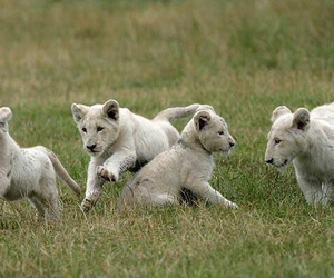 kids, lions, and leones blancos image