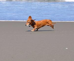 beach, dachshund, and dog image