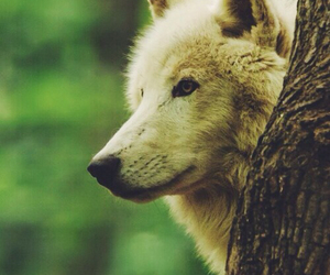 wolf, animals, and forest image