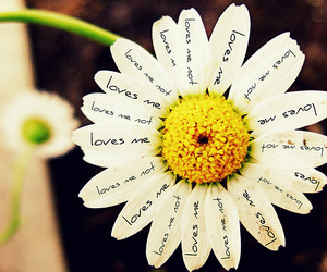 flower, daisy, and love image