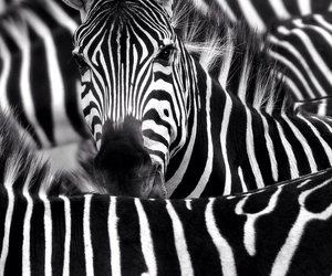 zebra, animal, and black image