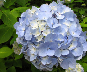 beautiful, flowers, and hortensias image