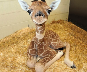 giraffe, cute, and animal image