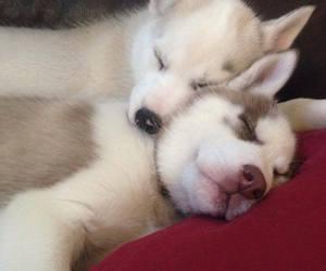 baby, siberian husky, and dog image
