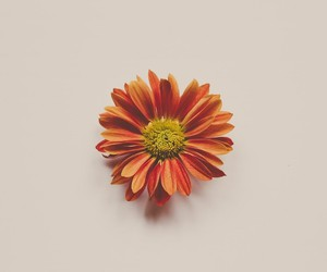 flower, simplicity, and orange image