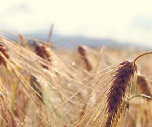 beautiful, corn field, and corn image