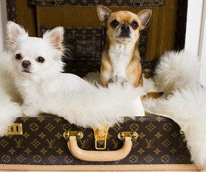 dog, cute, and Louis Vuitton image