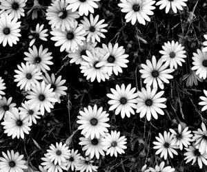 flowers, background, and black and white image