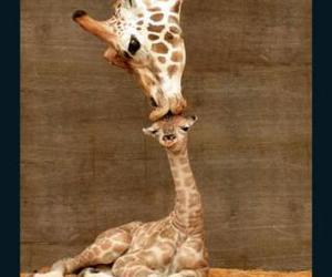 giraffe and kiss image