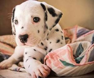 dog, cute, and dalmatian image