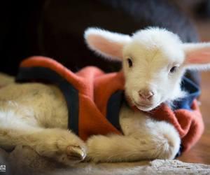 baby animals, cute animals, and lamb image