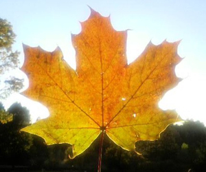 autumn, canada, and mapleleaf image