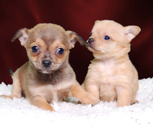 chihuahua, cute animals, and dogs image