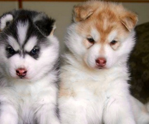 husky, puppy, and dog image