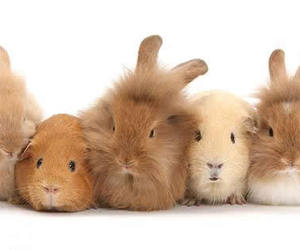 cute animals, guinea pig, and rabbit image