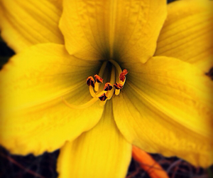 yellow, flower, and Daylily image